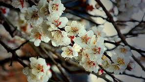 Detailed Information About Victoria Plum TreePlum Tree Flowers But No Fruit