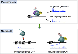 Dynamic Change Of Transcription Pausing Through Modulating Nelf