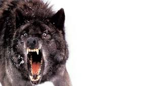 51 Wolf Wallpaper In Hd 4k For Iphone 5 6 7 And Android