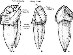 Реферат Морфологическая характеристика зубов человека  Морфологическая характеристика зубов человека