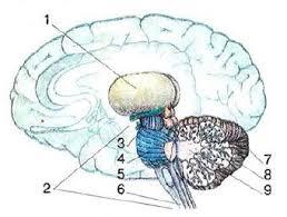 Строение и функции ствола головного мозга Биология Реферат  Строение промежуточного мозга и мозжечка 1 таламус 2 ствол головного мозга 3 средний мозг 4 мост 5 продолговатый мозг 6 спинной мозг