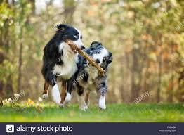 Zwei Australian Shepherds Eine Blue Merle Und Black Tri Spielen