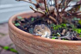 4 plants to keep mice from invading