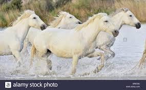 wild white horses running free. Delighful Horses Running White Camargue Horses  Stock Image Inside Wild Horses Free