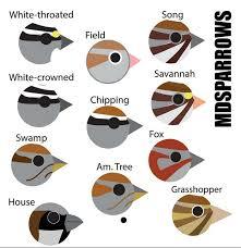 Warbler Id Chart Birdfaces Prairie Birder