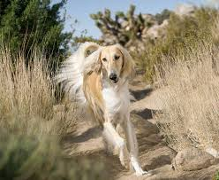 saluki dog. saluki | personality: brave and kind, she will put her life at risk for dog