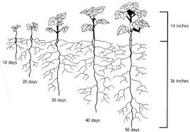 Tree Root Depth Chart Advancing Cotton Educationgrowth And Development Of A Cotton