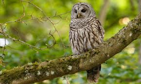 Barred Owl Introduction Birds Of North America Online