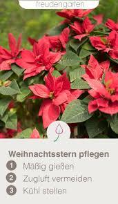 Weihnachtsstern Pflegen Gartenfreunde Plants Garden Und