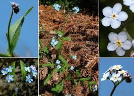 Myosotis sylvatica Hoffm. subsp. sylvatica - Sistema informativo sulla ...