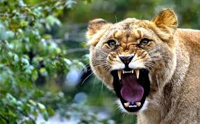 lioness roar front view.  Lioness Lioness Roar Wallpaper Intended Front View A