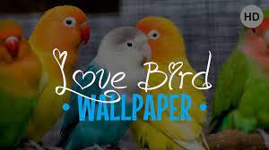 Lovebird Wallpaper for Android - APK ...