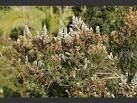 Images & Illustrations of tree heath