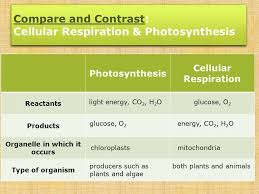 similarities between photosynthesis and cellular respiration  similarities between photosynthesis and cellular respiration concept similarities between photosynthesis and cellular respiration compare 20and 20contrast