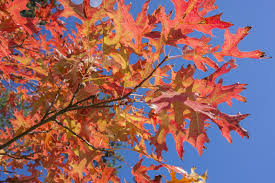 Oak Tree Growth Rate Chart Pin Oak Information Tips For Growing Pin Oaks In Landscapes