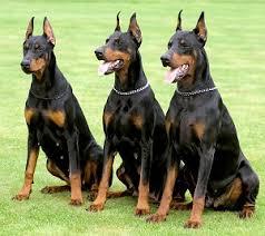 pitbull dog vs doberman. Simple Doberman Doberman Pinscher On Pitbull Dog Vs L
