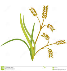 rice plant clipart. Fine Clipart With Rice Plant Clipart WorldArtsMe