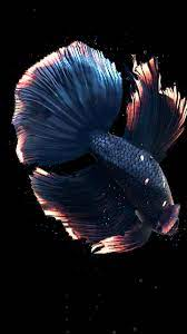 Betta Fish Live Wallpaper Free For ...