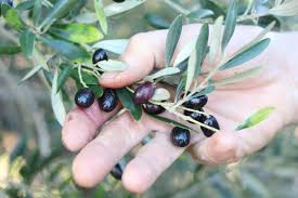 How To Grow An Olive Tree  YouTubeWild Olive Tree Fruit