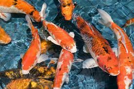 кои рыба покорившая японию уголок анимешника