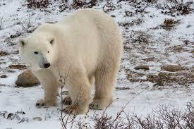 grolar bear size born to roam a moment of science indiana public media