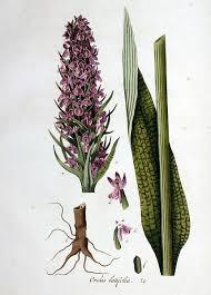 File:Orchis latifolia — Flora Batava — Volume v1.jpg - Wikimedia ...
