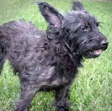scottish terrier mix. Wonderful Terrier Capri  Scottish Terrier  To Mix