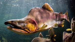 Scientists Id Another Possible Threat To Orcas Pink Salmon