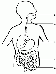 Human Body Systems Coloring Pages#433272