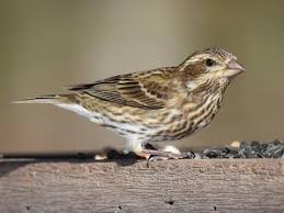 House Finch Identification, All About Birds, Cornell Lab of ...
