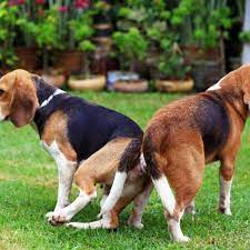 why do dogs get stuck when mating