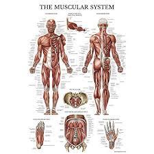 Muscle Chart Amazon Com