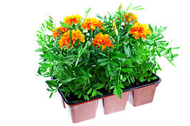bedding plant definition and meaning