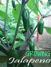 Growing Jalapeno Peppers Tips On Jalapeno Plant Care