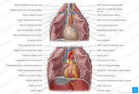 The uterus and the ovaries, which produce a ovary: Heart Right And Left Atrium Anatomy And Function Kenhub