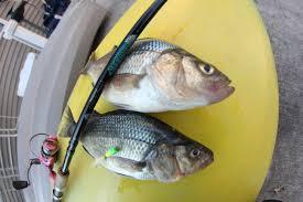 Barnegat Light Fishing Report Barnegat Bay Fishing Report 4 9 2017 Lbi Nj Fishing Report