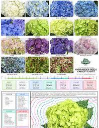 Hydrangea Size Chart Jet Fresh Flower Distributors