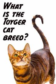 Toyger The Tiny Tiger Whos All Domestic Cat Cat Breeds