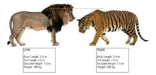 13 Big Cats Size Comparison Chart Google Search Big Cat