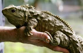 Image result for tuatara images