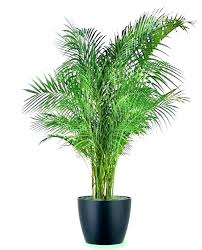 common indoor plants big house best large tall houseplants for photos of
