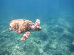 Meeresschildkröte Caretta Caretta Foto & Bild | fotos, outdoor, wasser  Bilder auf fotocommunity