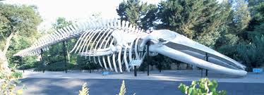 Image result for skeleton of whale