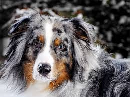 Toy Australian Shepherd Size Chart Australian Shepherd Dog Breed Information Pictures