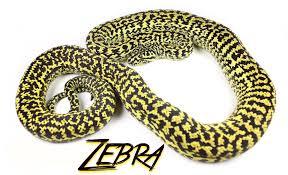 zebra carpet python zebra jungle carpet python93 carpet