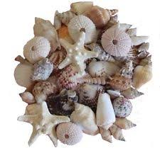 Collectable Shells <b>for</b> sale | eBay