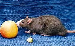 Крысы опухоли у крыс болезни крыс доброкачественные  Опухоли у крыс