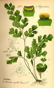 Adiantum capillus-veneris - Wikipedia