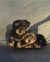 260 super cute healthy teacup yorkie puppies for xmas 269 220