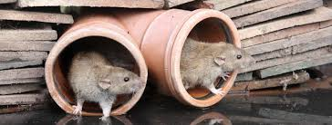 in this article we discuss a common cause of rats in the garden
